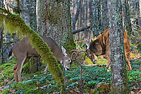 Coastal Black-tailed Deer Bucks or Columbian black-tailed deer bucks (Odocoileus hemionus columbianus) sparring/fighting.  Late Fall, Pacific Northwest