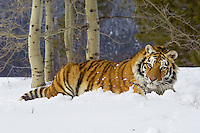 Siberian Tiger or Amur Tiger (Panthera tigris) in winter.