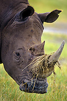 White Rhinoceros (Ceratotherium simum) grazing in Lake Nakuru National Park, Kenya.