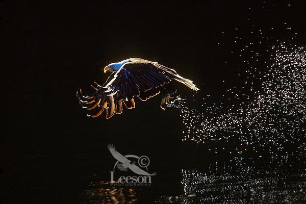 Bald Eagle (Haliaeetus leucocephalus) catching fish.  Pacific Northwest.
