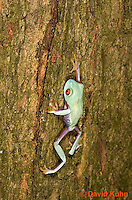 0306-0927  Red-eyed Tree Froglet (Young Frog) Climbing, Agalychnis callidryas  © David Kuhn/Dwight Kuhn Photography.