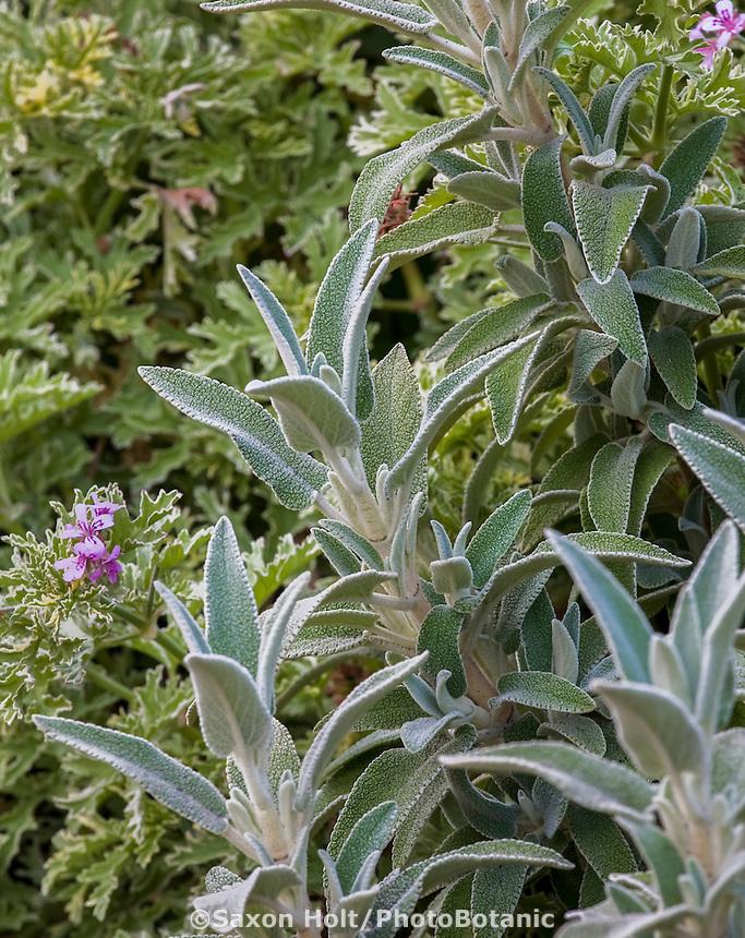 Silver gray leaf Phlomis purpurea- Deer resistant fuzzy foliage plant at Cambria Pines Lodge garden
