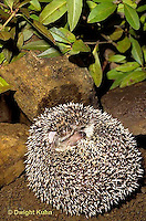 MA42-032z   African Pygmy Hedgehog - unrolling from protective ball - Erinaceus albiventris