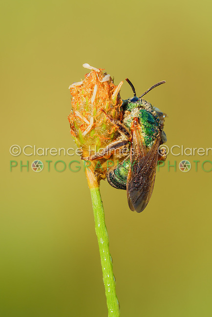 A torpid female Brown-winged Striped-Sweat Bee (Agapostemon splendens) perches on vegetation in the early morning.