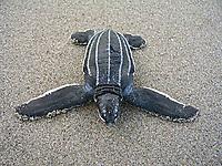 leatherback sea turtle hatchling, Dermochelys coriacea, Dominica, Caribbean, Atlantic Ocean