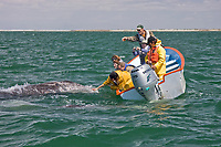 Excited whale watchers reaching out to touch a California Gray wh (Eschrichtius robustus) in San Ignacio Lagoon on the Pacific Ocean side of the Baja Peninsula, Baja California Sur, Mexico. Each winter thousands of California gray whales migrate from the Bering and Chukchi seas to breed and calf in the warm water lagoons of Baja California. San Ignacio lagoon is the smallest of the three major such lagoons. Current (2008) population estimates put the California Gray wh at between 20,000 and 24,000 animals.