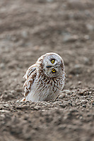 An inquisitive short-eared owl stares intently while standing on the a surface on Alaska's Arctic North Slope.