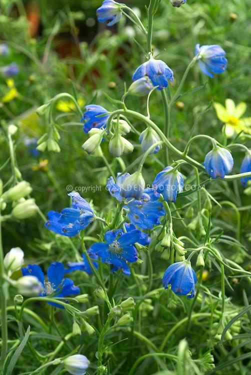 Delphinium grandiflorum 'Blue Mirror', Dwarf blue flowered perennial many flowers