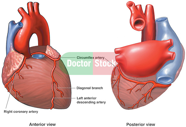 This series features two side-by-side illustrations of the heart, from both anterior (front) and posterior (back) views.  The pulmonary trunk is removed to show the arch of the aorta (aortic arch) in its entirety.
