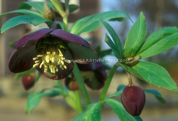 Helleborus purpurascens species hellebore