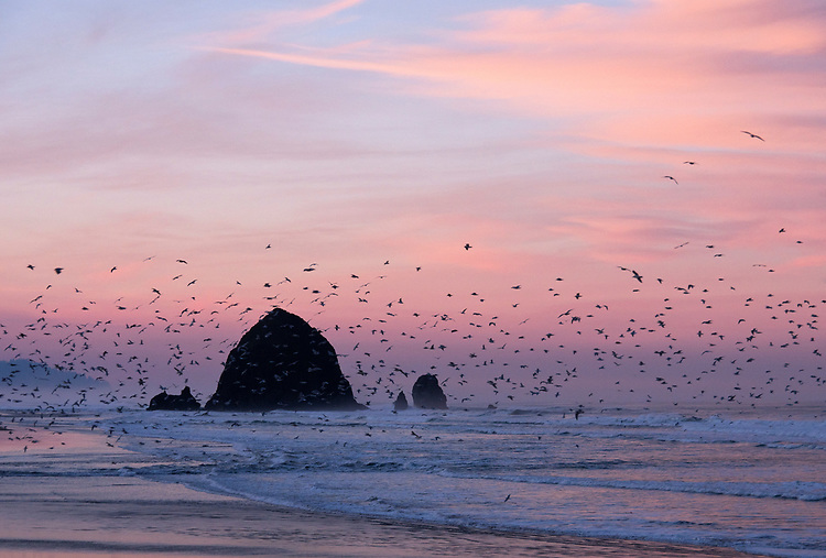 At sunrise, seagulls fly around Haystack Rock on Cannon Beach along the northern Oregon Coast, USA
