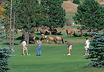 American elk enjoy the green grass while golfers play a round, Estes Park, CO