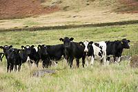 Dairy calves, Macclesfield, Cheshire.