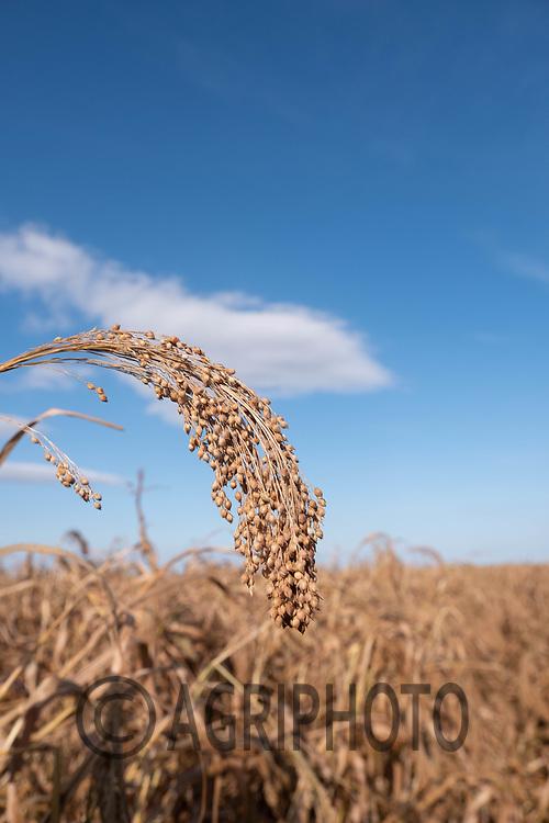 23-9-2021 Millet ready for harvest<br /> ©Tim Scrivener Photographer 07850 303986<br />      ....Covering Agriculture In The UK....