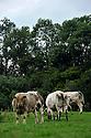 14/06/11 - CONDROZ - BELGIQUE - Troupeau allaitant de race Blanc Bleu Belge - Photo Jerome CHABANNE