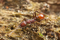 A Spine-waisted Ant (Aphaenogaster tennesseensis) worker forages for food on a fallen dead tree trunk.