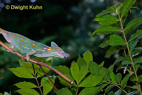 CH38-536z Female Veiled Chameleon tongue flicking to catch insect prey, Chamaeleo calyptratus, for sequence see CH38-537z