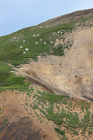 Dall sheep graze along the summer grasses of a slope near the Toklat river, in Denali National Park, Interior, Alaska.