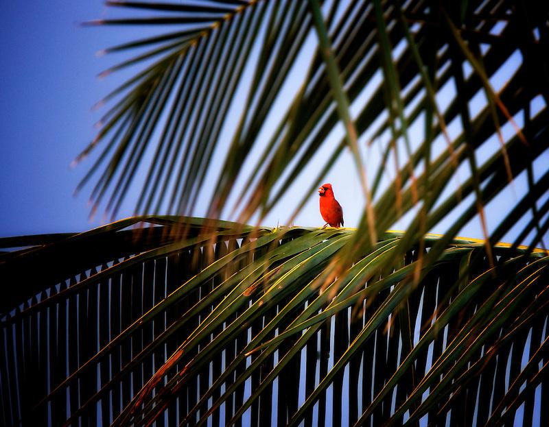 Northern Cardinal in palm tree. Kauai, Hawaii.