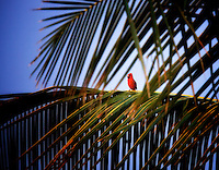 Northern Cardinal in palm tree. Kauai, Hawaii.