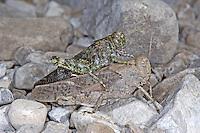 Gefleckte Schnarrschrecke, Paarung, Kopula, Kopulation, Bryodemella tuberculata, Bryodema tuberculata, Speckled Buzzing Grasshopper, Speckled Grasshopper, copulation, pairing