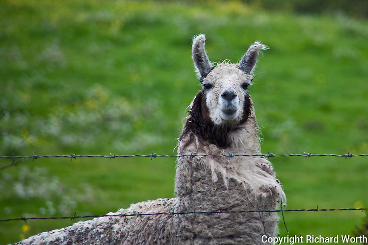 A little rain and a little wind are nothing to Isaac the llama in a field along the central California coast.
