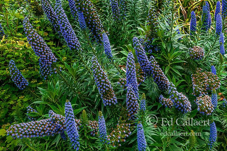 Echium, Pride of Madeira, Fern Canyon Garden, Mill Valley, California