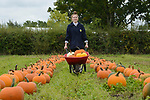 Thousands of pumpkins are brought in from the fields on Sunnyfields Farm