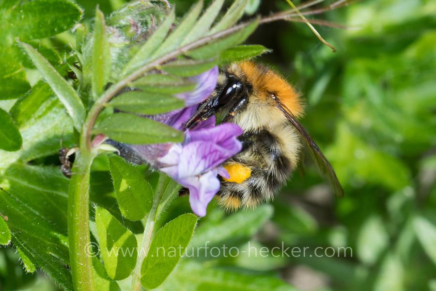 Ackerhummel, Acker-Hummel, Hummel, Weibchen, Pollenhöschen, Bombus pascuorum, Bombus agrorum, Megabombus pascuorum floralis, common carder bee, carder bee, female, le bourdon des champs