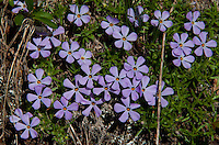 Wild Subalpine Alpine Phlox, Desolation Peak, North Cascades National Park, Washington, US