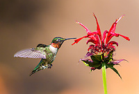 A Male Ruby-Throated Hummingbird in flight at red flower with tongue out