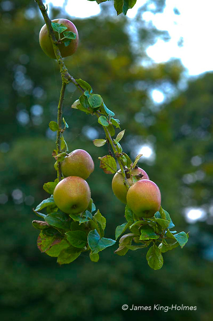 Apples variety King of the Pippins