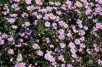 Fiori. Flowers. Margherite. Daisies.....