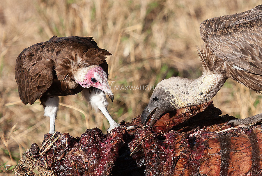 Two species share a feast.