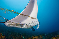reef manta ray, Mobula alfredi, is entangled in, and towing, a fishermans net. Yap, Micronesia.
