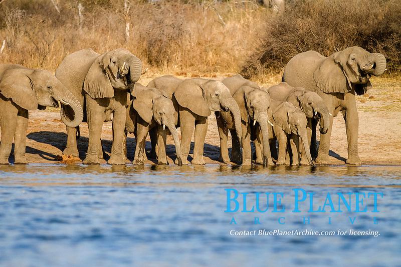 African elephants (Loxodonta africana) drinking at the Okavango river, Caprivi, Namibia, Africa