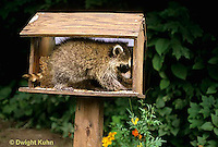 MA22-016x  Raccoon - young raccoon exploring bird feeder  - Procyon lotor