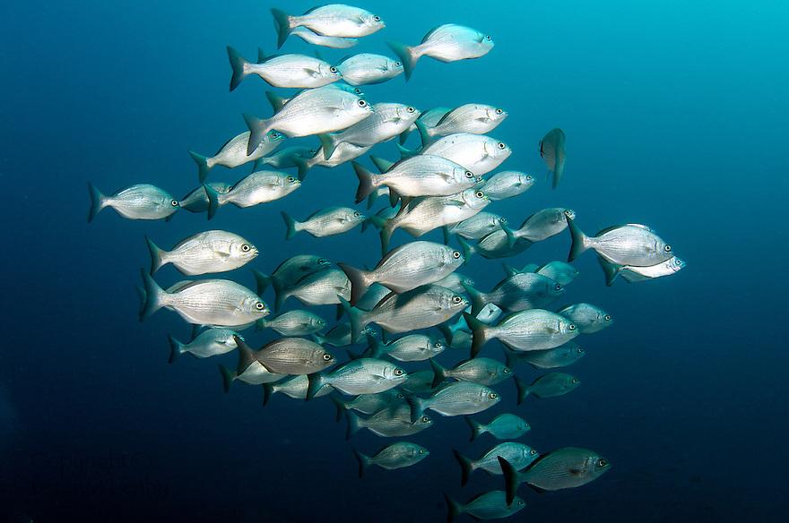 A School of Bermuda Chub Swimming in Open Water