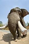 Domestic Asian Elephant (Elephas maximus) - used for riding / taking tourists. Bandhavgarh National Park, India.