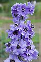 Delphinium 'Holly Cookland Wilkins', mid August.