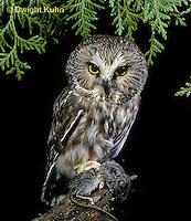 OW03-057b  Saw-whet owl - with mouse prey - Aegolius acadicus