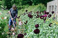 Papaver somniferum (Opium Poppies) with Dan Hoeing in the background