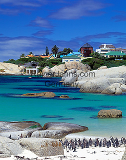 South Africa, near Cape Town, Simon's Town : Boulders Beach - Jackass penguins (Spheniscus demersus)