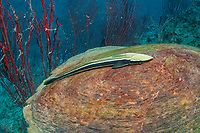 Slender Suckerfish or Remora, Echeneis naucrates, on Hawksbill Turtle, Eretmochelys imbricata, Koh Tao, Thailand, Gulf Of Thailand, South China Sea, Indian Ocean