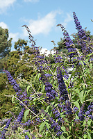 Butterfly Bush Buddleja davidii 'Blue Horizon against blue sky and clouds on summer day