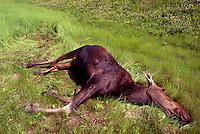 Roadkill Carcass of Moose Cow (Alces americana) - North America