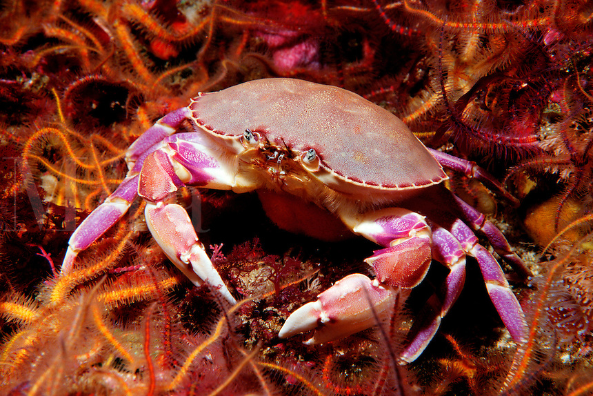 A female Graceful crab, Cancer gracilis, carrying her eggs, walks through a field of Spiny Brittle stars, California, Eastern Pacific Ocean