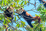 Young red pandas (Ailurus fulgens) (western subspecies A. fulgens fulgens) (sometimes lesser panda, red bear-cat, red cat-bear) resting in temerate forest understorey. Mid montane forest, Himalayan foothills, Singalila National Park, India / Nepal Border.