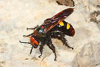 Gelbstirnige Dolchwespe, Rotstirnige Dolchwespe, Weibchen, Megascolia maculata, Regiscolia maculata, Scolia maculata, mammoth wasp, female, Dolchwespen, Scoliidae, scoliid wasps