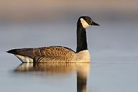 Canada Goose (Branta canadensis). Montezuma National Wildlife Refuge, New York. March.